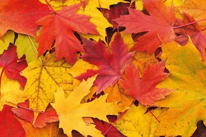 برای عکاسی پاییزی از رنگ برگ های پاییزی در نمای نزدیک عکس بگیرید